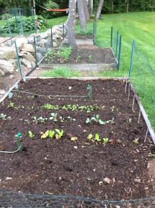 Herbs & lettuce